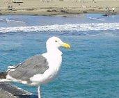 Sea Gull on Pier