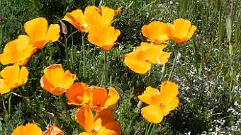 central coast wild flowers