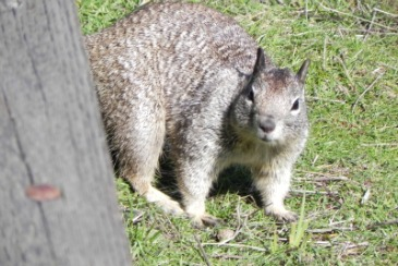 ground squiril