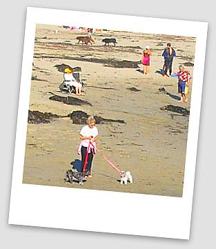 Shih Tzu on Cayucos beach