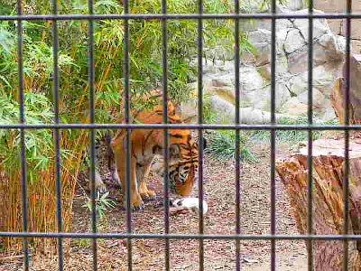 tiger eating a rabbit